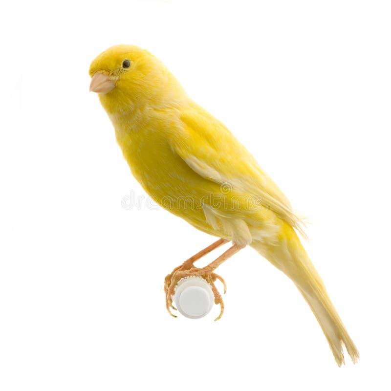 Canarino giallo sulla sua perchia immagini stock