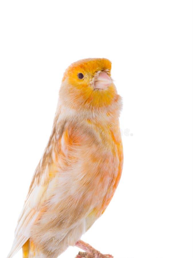 canarino isolato su bianco fotografia stock