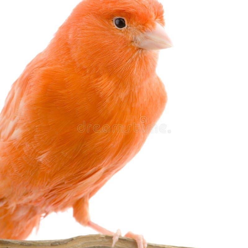 Canarino rosso sulla sua perchia immagini stock