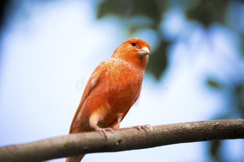 Canarino rosso sulla sua pertica nella parte anteriore immagine stock libera da diritti