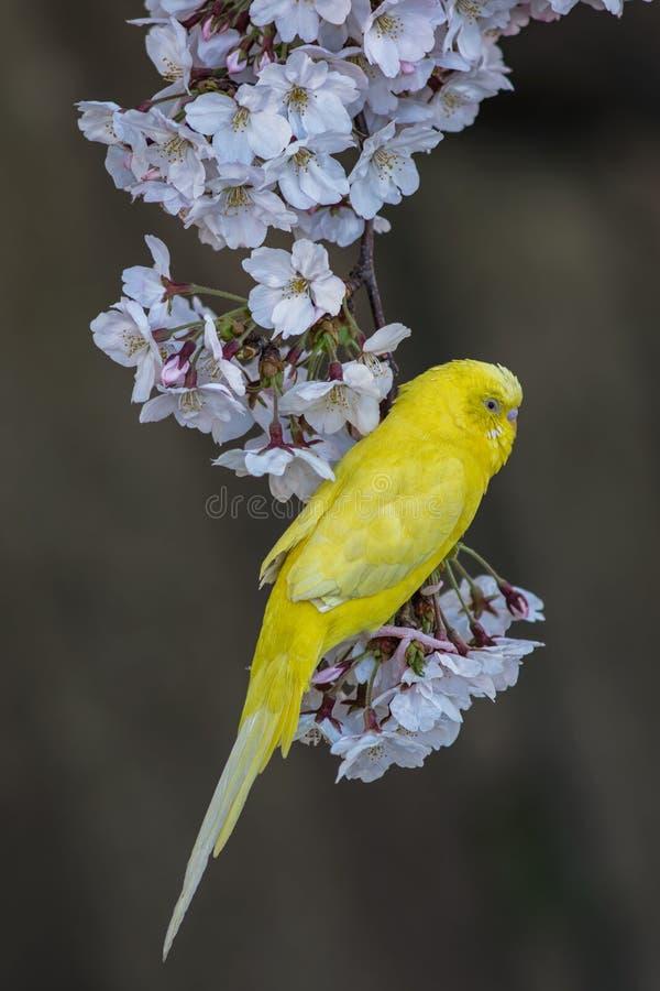 Canarino sull'albero di Sakura fotografie stock