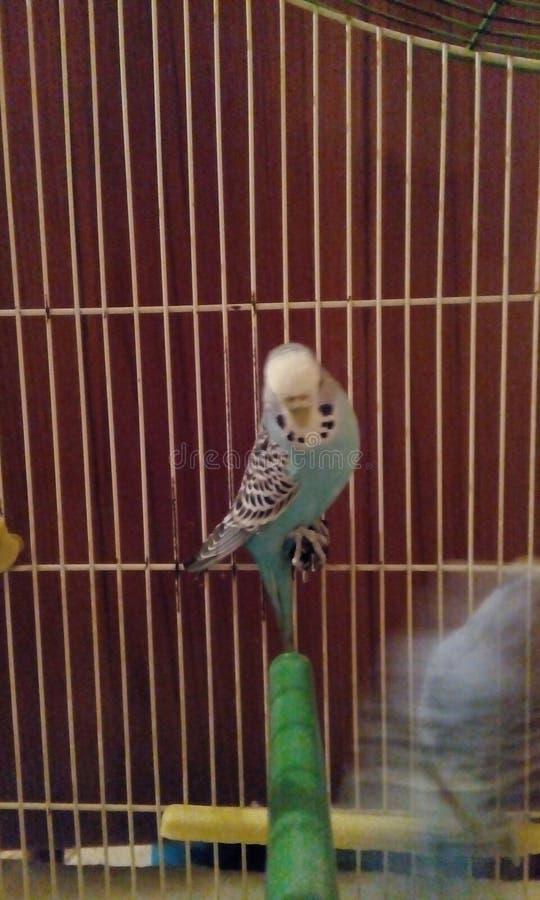 Canarino in una gabbia, migliore foto immagini stock libere da diritti
