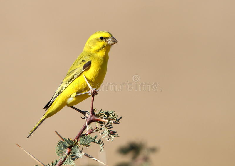 Canario amarillo imagen de archivo