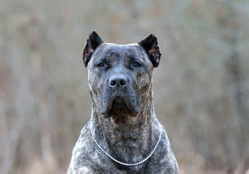 Canario Dogo стоковая фотография rf