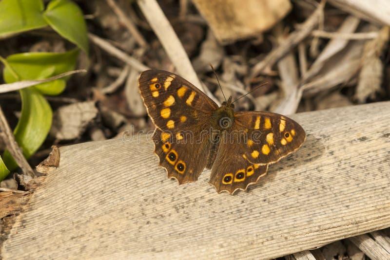 Canarisch bont zandoogje,黄雀色有斑点的木头 库存照片