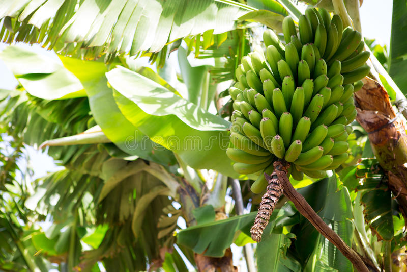 Canarische Banaanaanplanting Platano in La Palma stock afbeelding