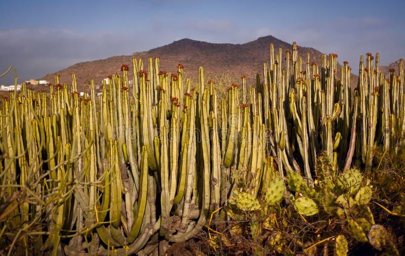 Canarische Cactus stock fotografie