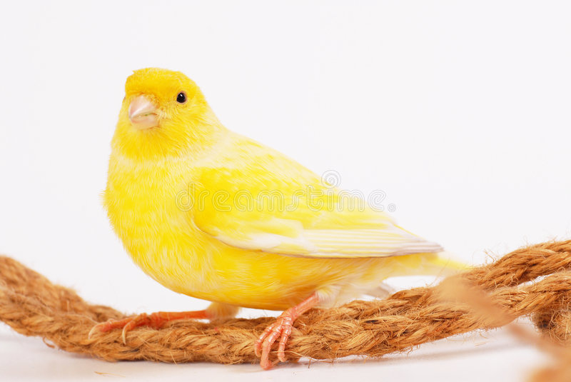 Canary royalty free stock images