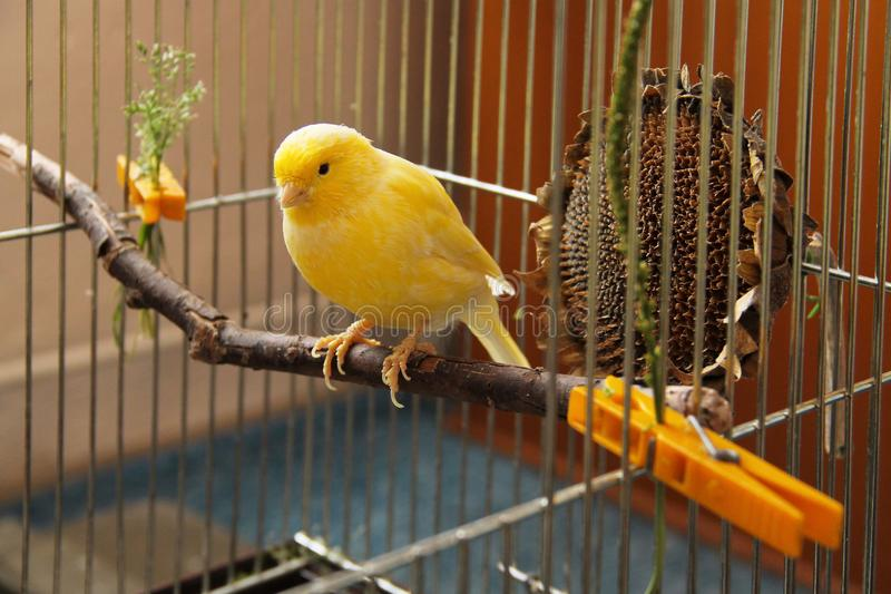 Canary bird royalty free stock photography