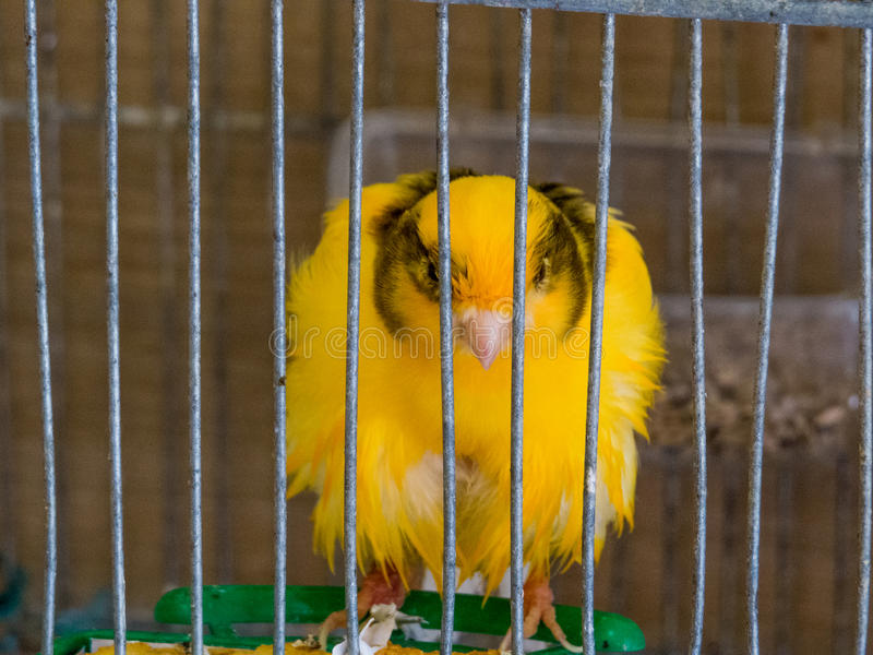 Canary in a cage royalty free stock images