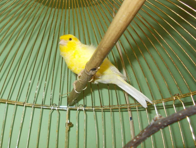 Canary in a cage stock photo
