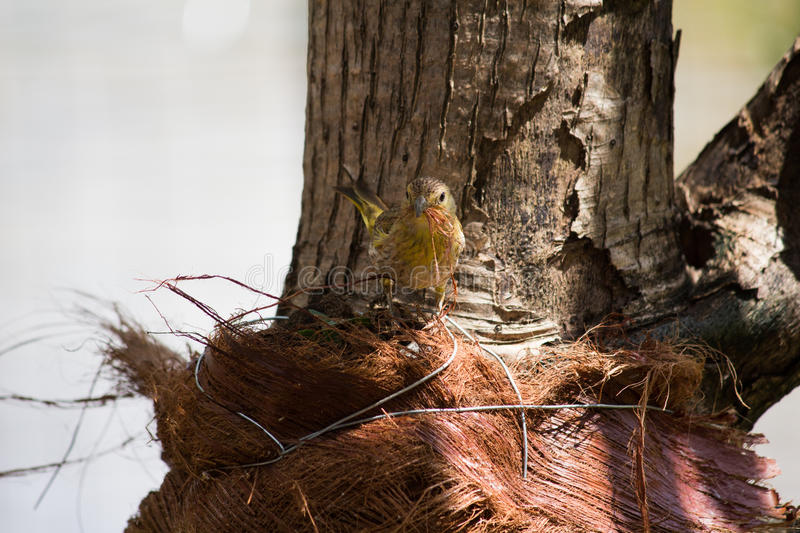 Canary collecting materials to the nest stock images