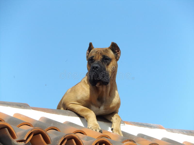 CANARY DOG. DOG Presa Canario ORIGINATING IN THE CANARY ISLANDS royalty free stock image