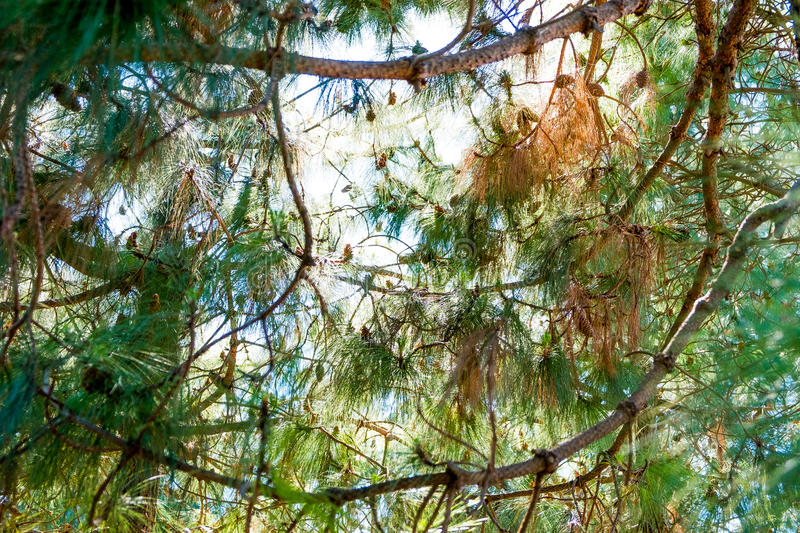 Canary holly pine branches closeup in sunny summer day. Pines forest in sunny day seen from below royalty free stock image