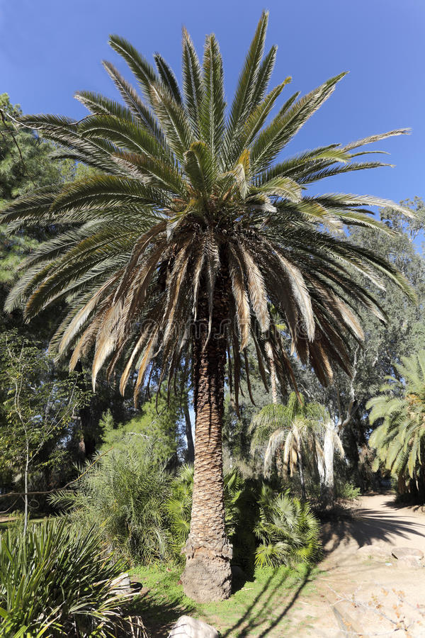 Download Canary Island Date Palm stock photo. Image of growth - 37918062