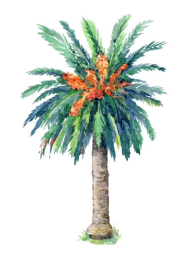 Canary Island date palm isolated on white background. Hand painted in watercolor stock illustration