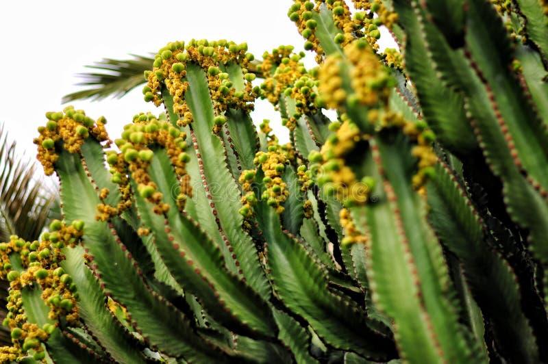 Canary Island Spurge - toxic cactus Euphorbia canariensis. Pla royalty free stock photos