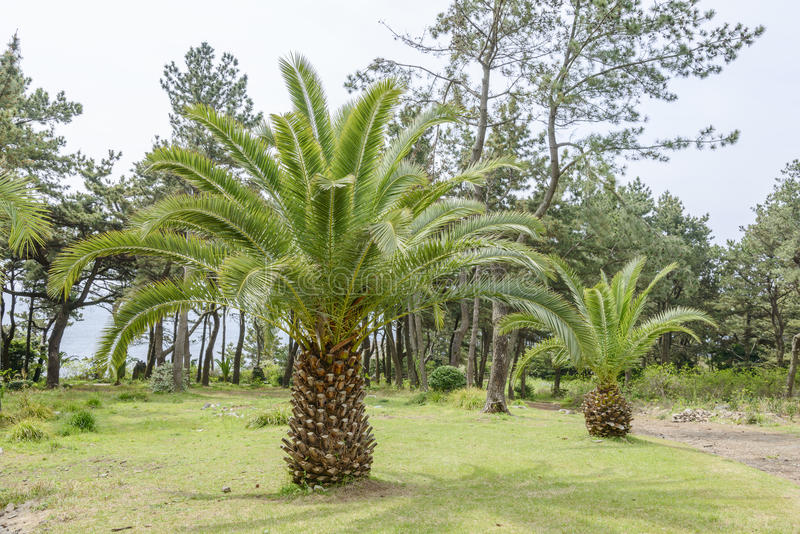 Canary palm tree. Scientific name is phoenix canariensis royalty free stock photo