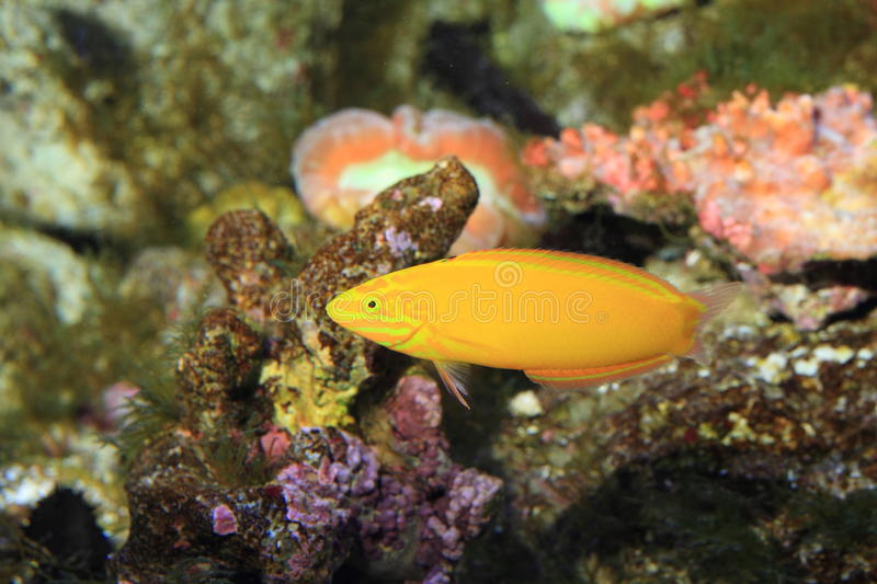 Canary wrasse. (Halichoeres chrysus) in Japan stock images
