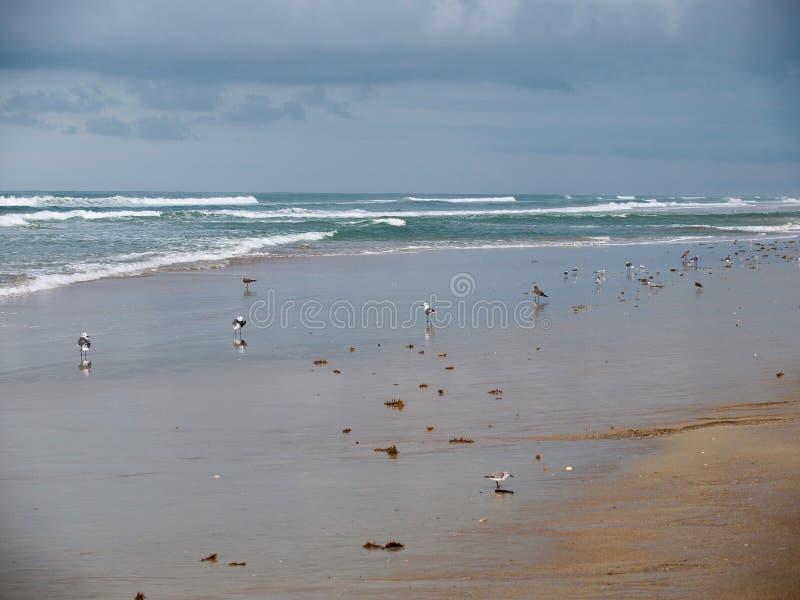 Canaveral National Seashore in Florida. Seagulls on the beach at Canaveral National Seashore in Florida stock image