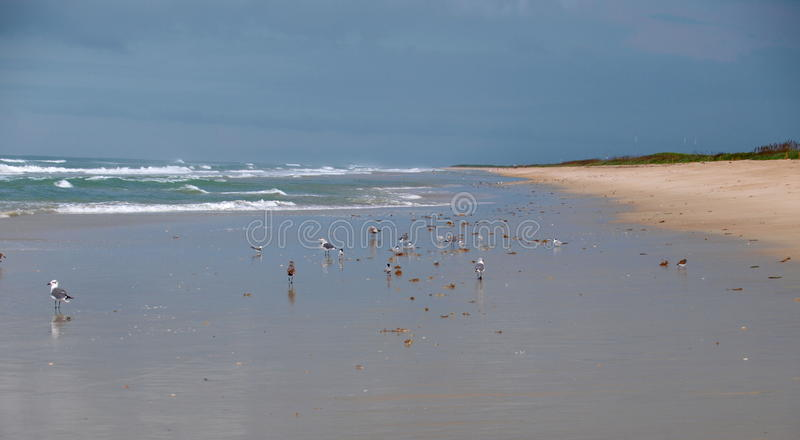 Canaveral National Seashore. Seagulls on the beach at Canaveral National Seashore in Florida stock image