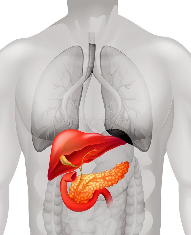 Cancer de pancréas dans l'humain illustration stock