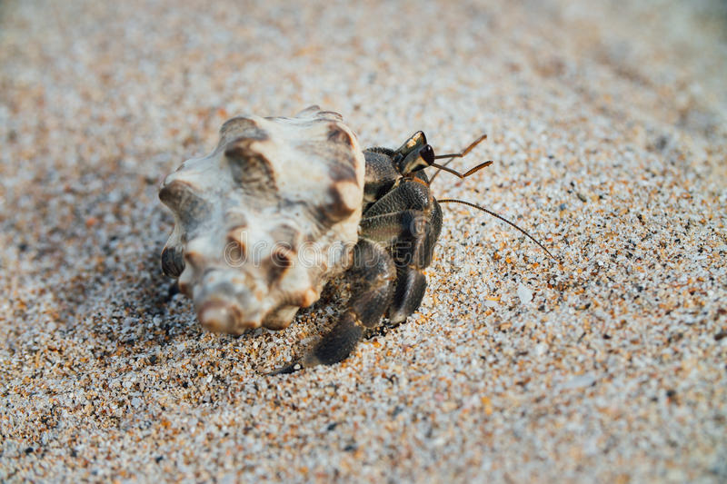 Cancer hermit crab Walks the sand. Macro. stock photography