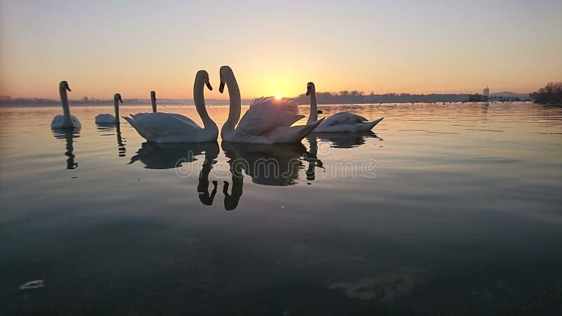 Canción de amor de los cisnes imagen de archivo