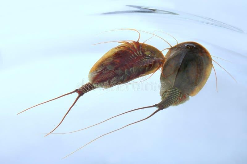 cancriformis tadpole dwa triops krewetki zdjęcie stock