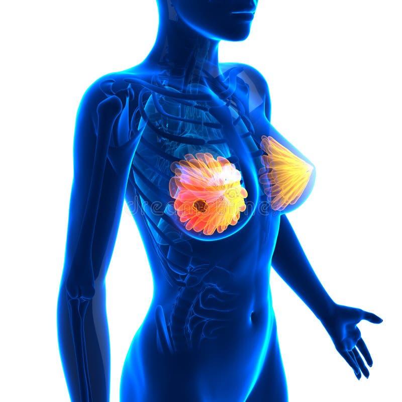 Cancro al seno - anatomia femminile - isolato su bianco illustrazione di stock