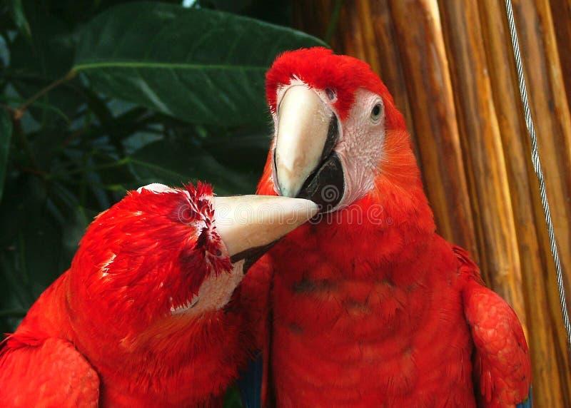 cancun papegoja arkivfoto