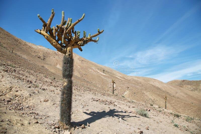 Candélabres de cactus (Browningia Candelaris) images stock