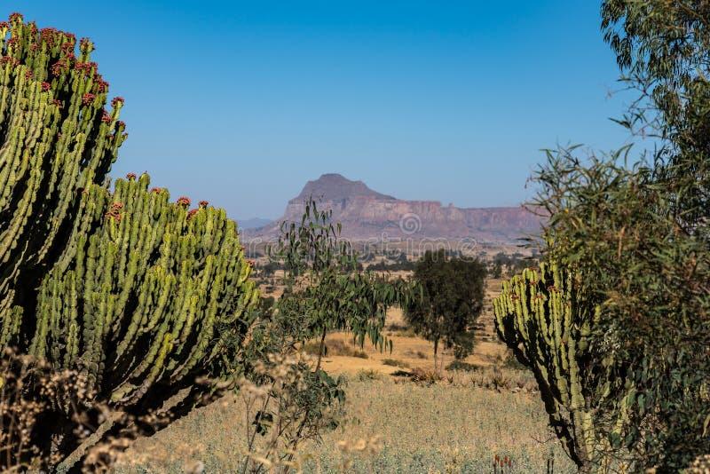 Candelabra Trees Euphorbia candelabrum near Wukro Cherkos in Ethiopia, Africa.  royalty free stock image