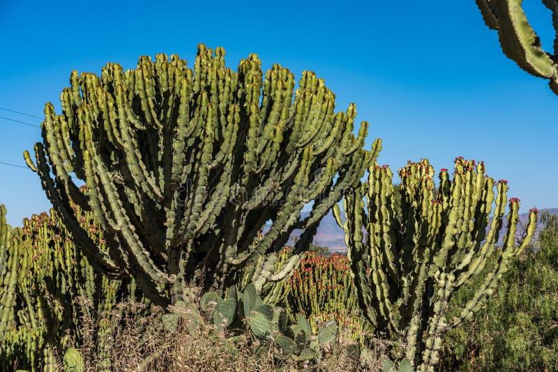 Candelabra Trees Euphorbia candelabrum near Wukro Cherkos in Ethiopia. Africa royalty free stock photos