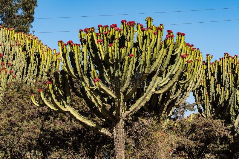 Candelabra Trees Euphorbia candelabrum near Wukro Cherkos in Ethiopia. Africa royalty free stock photo