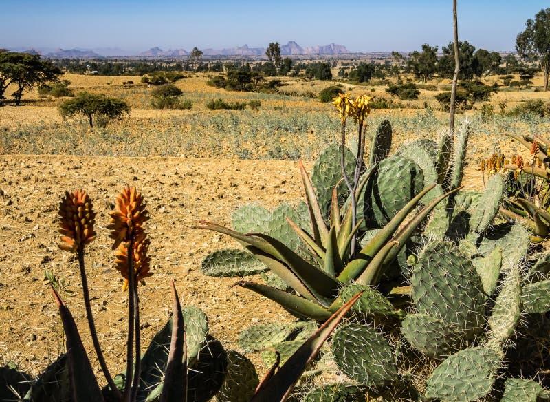 Candelabra Trees Euphorbia candelabrum near Wukro Cherkos in Ethiopia. Africa royalty free stock image