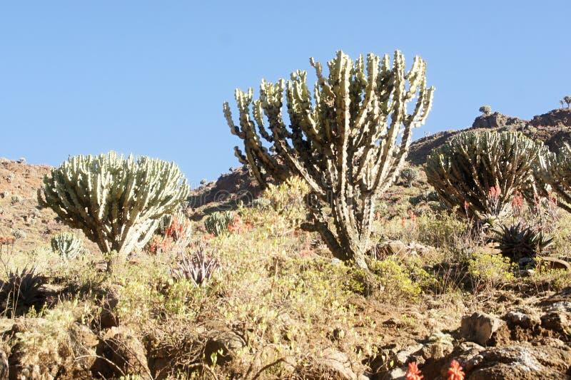 Candelabre de cactus en montagnes de Simien image libre de droits