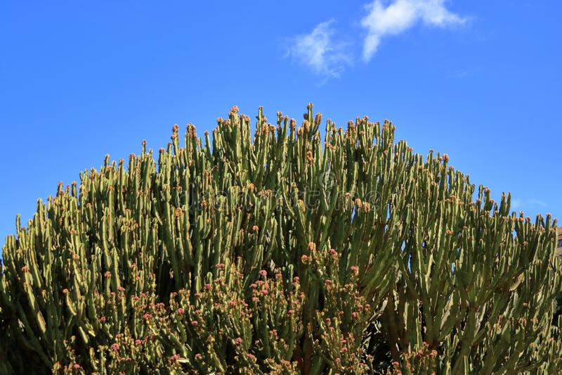 Candelabrum spurge against blue sky, Euphorbia candelabrum, cactus, Canary Islands. Candelabrum spurge against the blue sky, Euphorbia candelabrum, cactus stock photos
