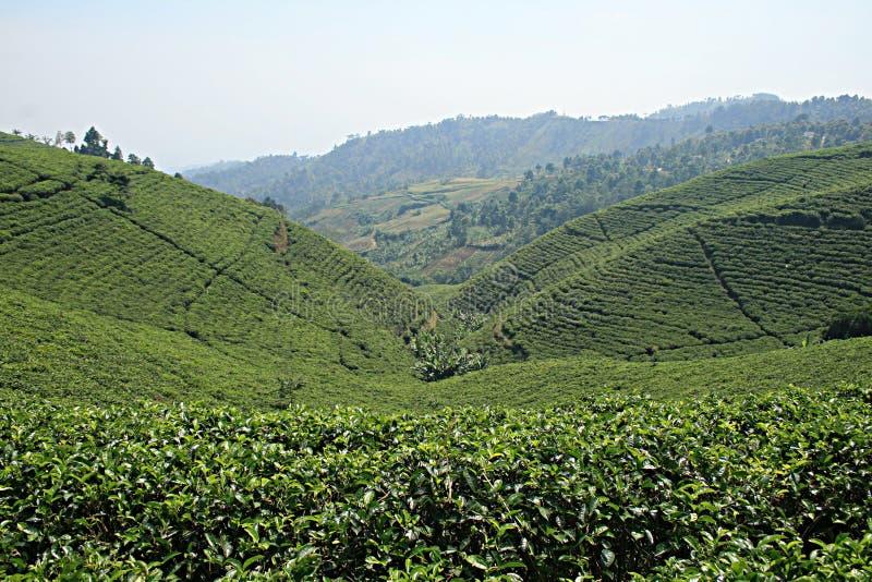 Candi herbaty pole zdjęcie royalty free