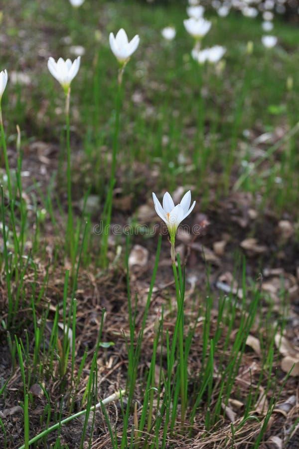 Candida blanca de Zephyranthes fotos de archivo libres de regalías