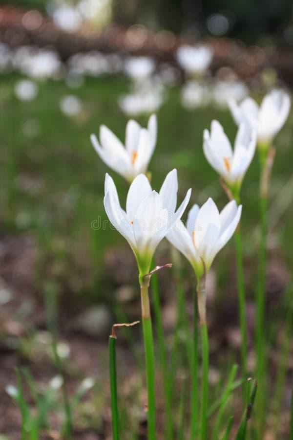 Candida branca de Zephyranthes imagens de stock