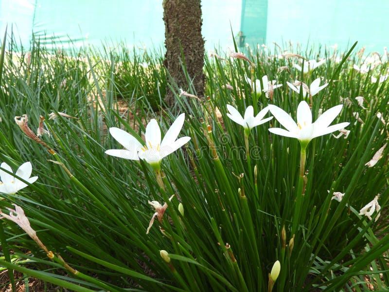candida de los zephyranthes foto de archivo libre de regalías
