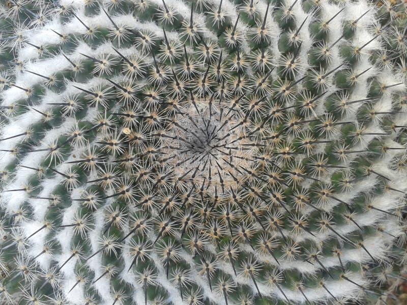Candida de Mammillaria de cactus photo libre de droits
