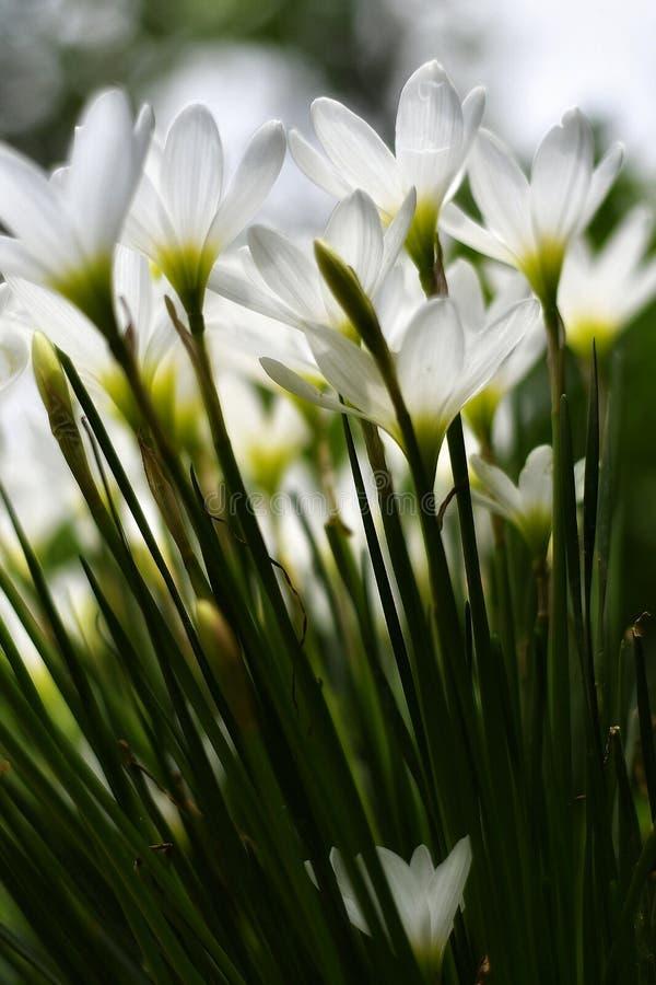 Candida de Zephyranthes, lirio de la lluvia imagenes de archivo