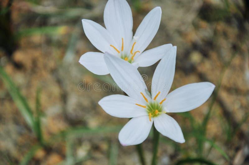 Candida Zephyranthes λουλούδια που ανθίζουν το καλοκαίρι στοκ εικόνες