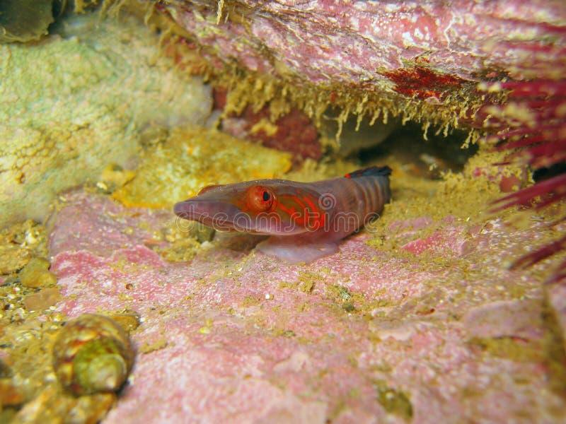 Candolii de Lepadogaster de clingfish de Connemara photo stock