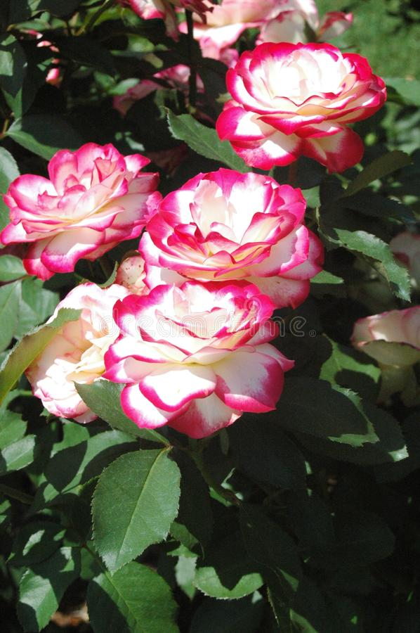 Candy colored rose in Mississippi stock images