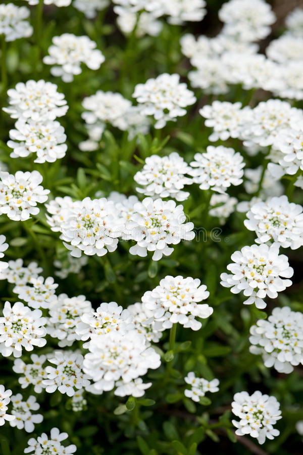 Candytuft stock afbeelding