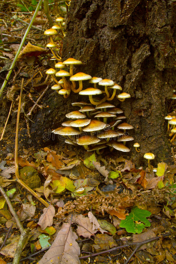 Download Candytuft Fungi On A Tree Stump Stock Image - Image of candytuft, tree: 27532453