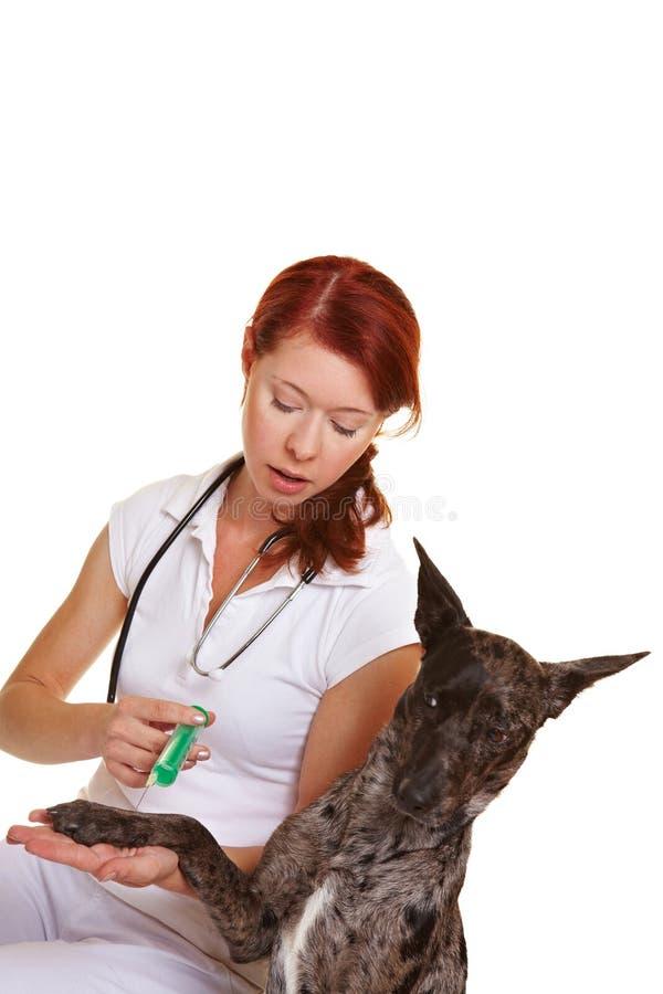 Cane ad ottenere veterinario immagini stock